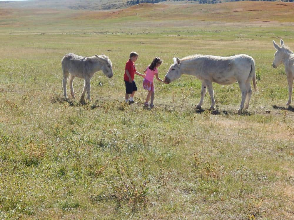 children feeding wild burros at Custer State Park