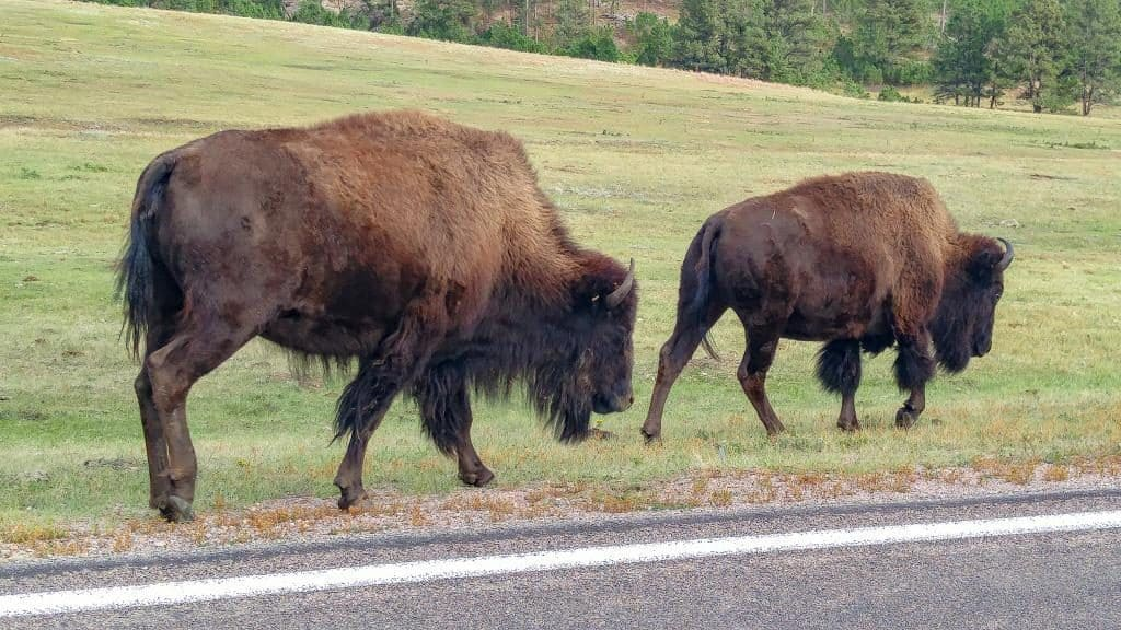 Bison walking along the road at Custer State Park