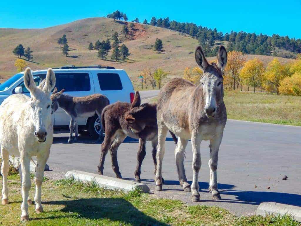 Begging Burros at Custer State Park