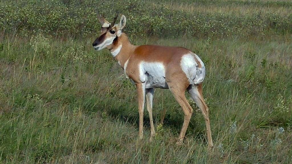 a pronghorn antelope standing in a field of grass at custer state park South Dakota