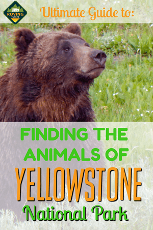 ultimate guide to the animals of yellowstone